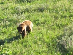 Bear_Yellowstone_2012