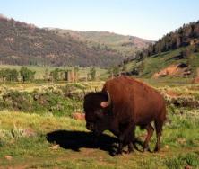 bison bull_Yellowstone
