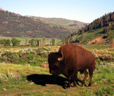 bison bull_Yellowstone