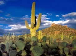 AZ saguaro
