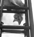 laddercat