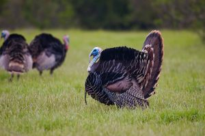 640px-2006-ca-turkey