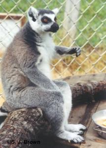 3 Lemur