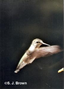 6 Hummingbird