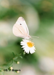 6cabbage white