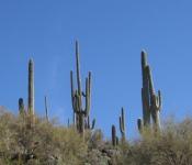 AZ 2013_Sarg Cactus and Sky