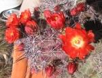 Flowering Catcus_Orange