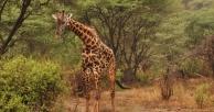 slider_lake_manyara_giraffe