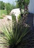 Yucca and rocks