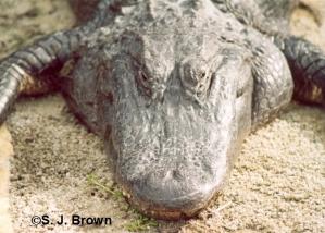 June Alligator