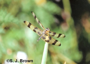 June dragonfly