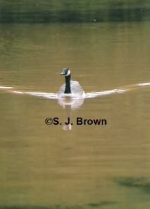 June Goose