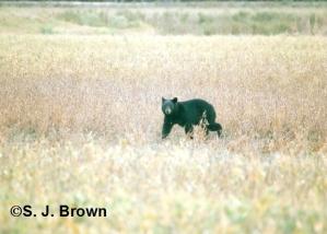 1 Bear