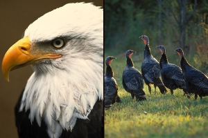 eagle_turkeys