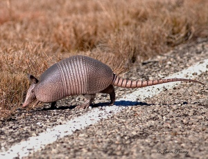 """Texas Speed Bump AKA - Armadillo"" by Jason Penney is licensed under CC BY-NC-ND 2.0"