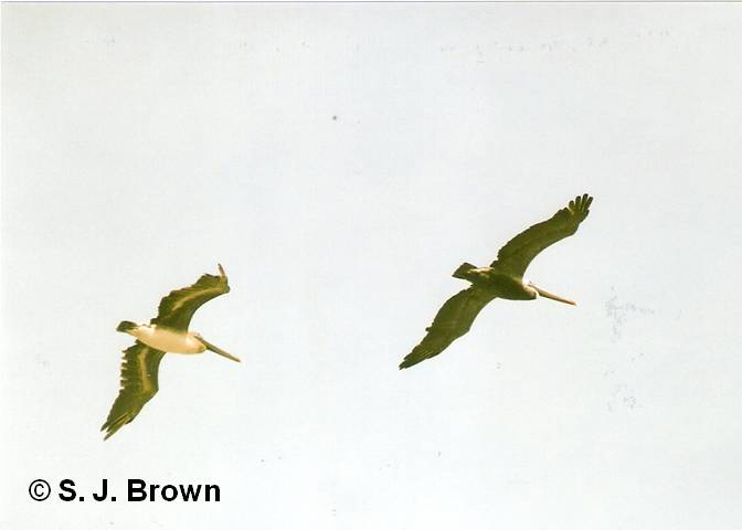 s-j-brown6pelicans