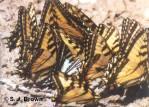SJBrown 6 Butterflies