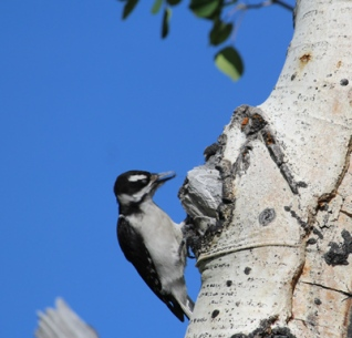 aspen_woodpecker