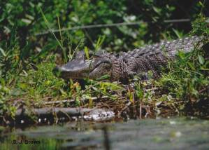 sjbrown 5 alligator