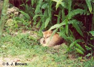 SJBrown Fox