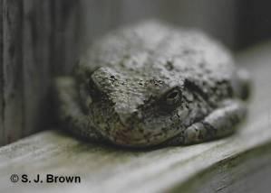SJBrown Frog