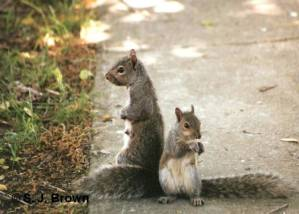 SJBrown 1 Mama Squirrel