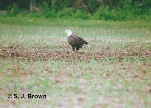SJBrown 4 Bald Eagle