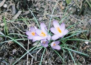SJBrown 6 Crocus