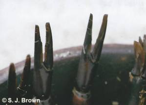 SJBrown Crab Claw