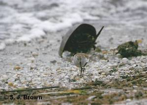 SJBrown Horseshoe Crabs