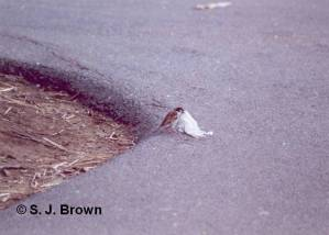 SJBrown Sparrow