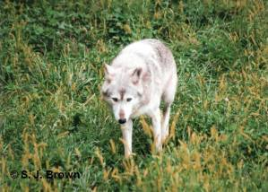 SJBrown Wolf