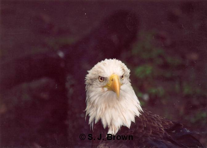 SJBrown Bald Eagle