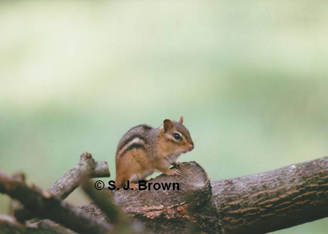 SJBrown Chipmunk