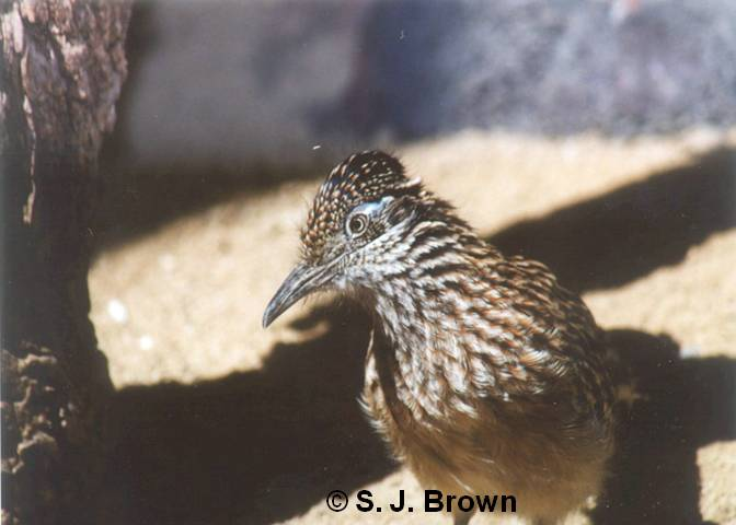 SJBrown Road Runner