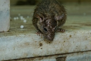 09-19-2018 WWW RENEE KIMBALL PIXABAY CC0rodent-3229592_640