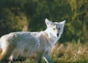 SJ Brown coyote